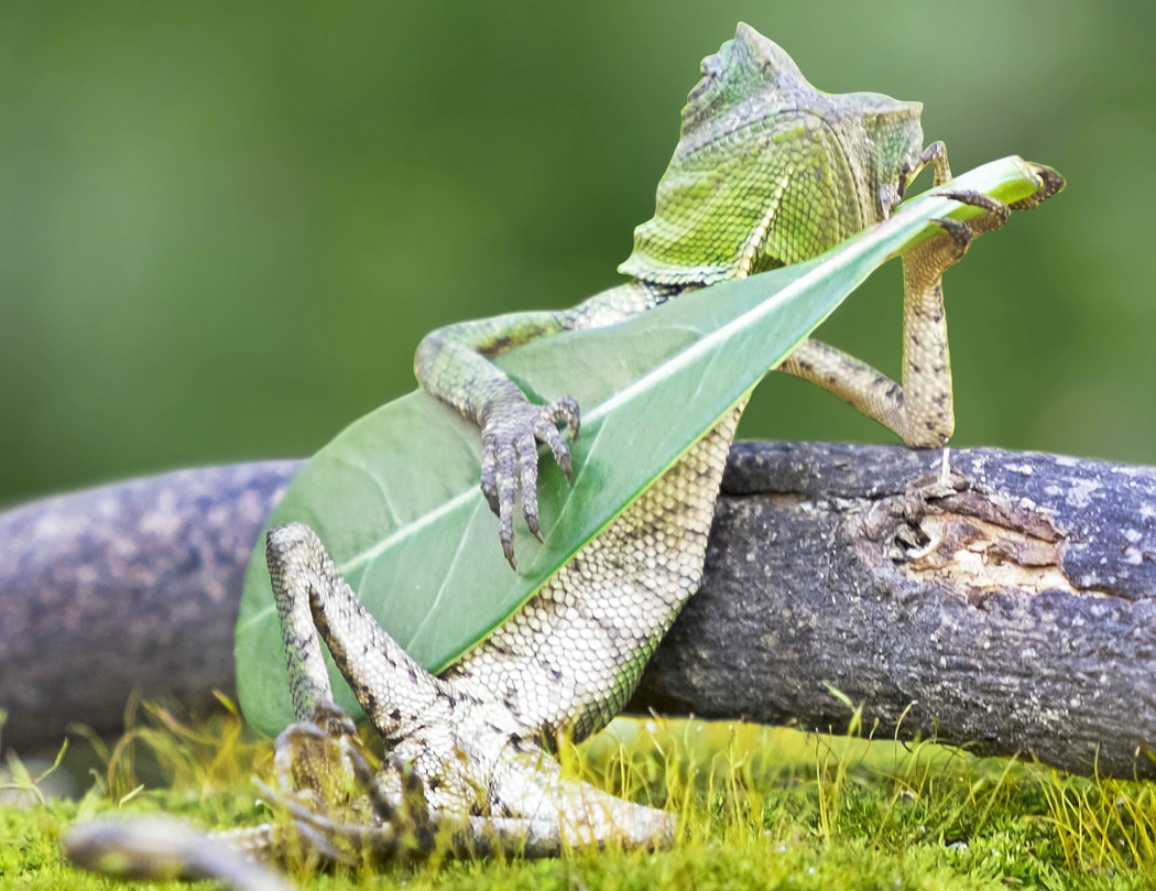 http://thebluesmobile.com/wp-content/uploads/2017/03/LIZARD-PLAYING-THE-GUITAR-1-1050x809.jpg